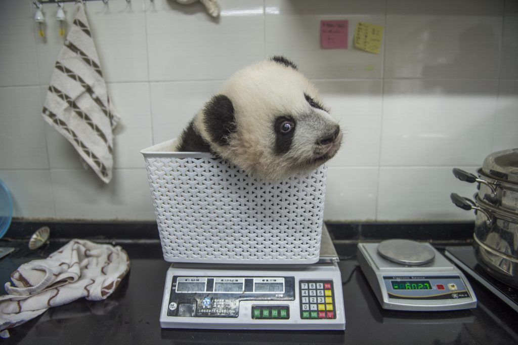 wild life, baby panda being weighed,, olong Nature Reserve, China, wildlife. save the animals, Ami Vitale