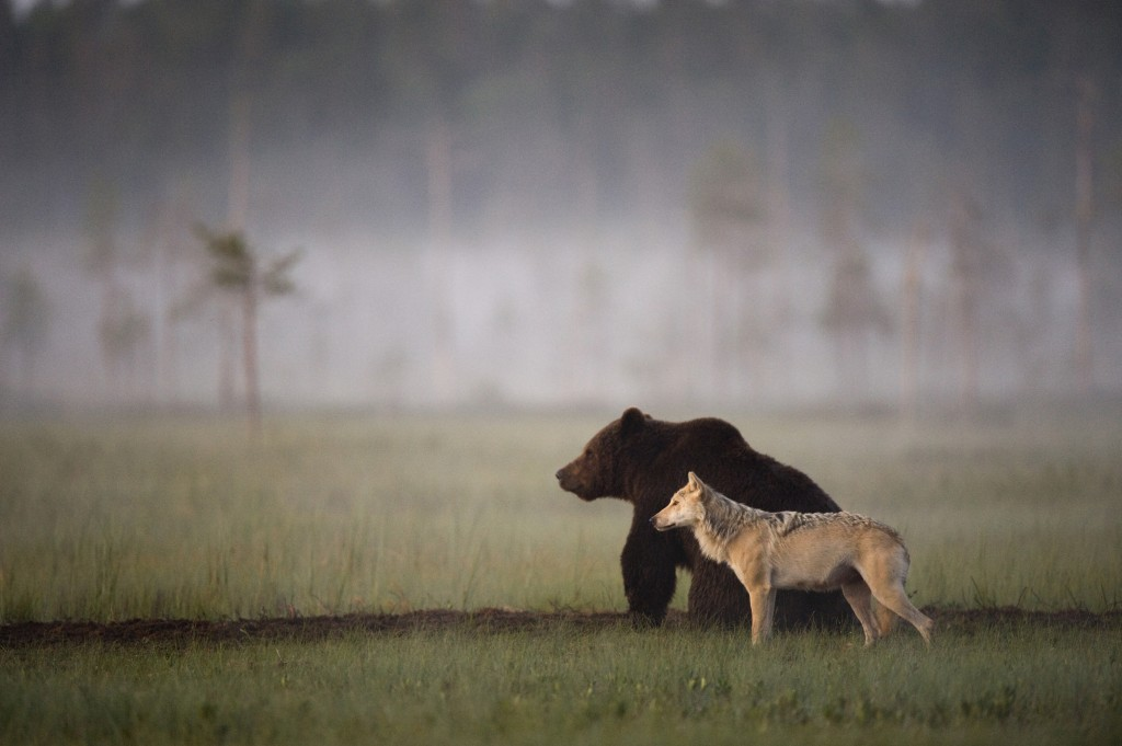 Unlikely friendship, bear, wolf, Finland, wildlife, photography, nature, unique