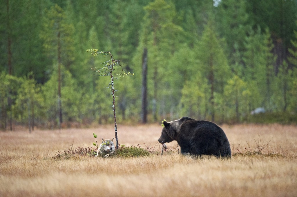 Come Dine With Me, bear, wolf, Finland, rare, union, animals, wildlife