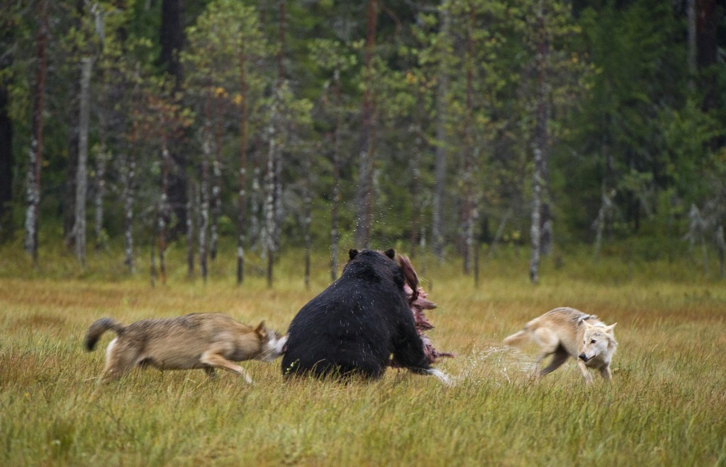 Lassi Rautiainen, sharing a meal, bear, wolf, wolves