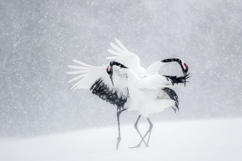 parade de tancho, red-crowned cranes, mating dance, snow, wildlife, snow falling, elegant, wild