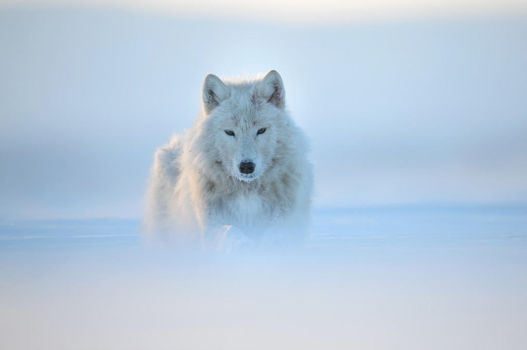 Arctic wolf, snow, wild, looking straight, soft, arctic, Canada