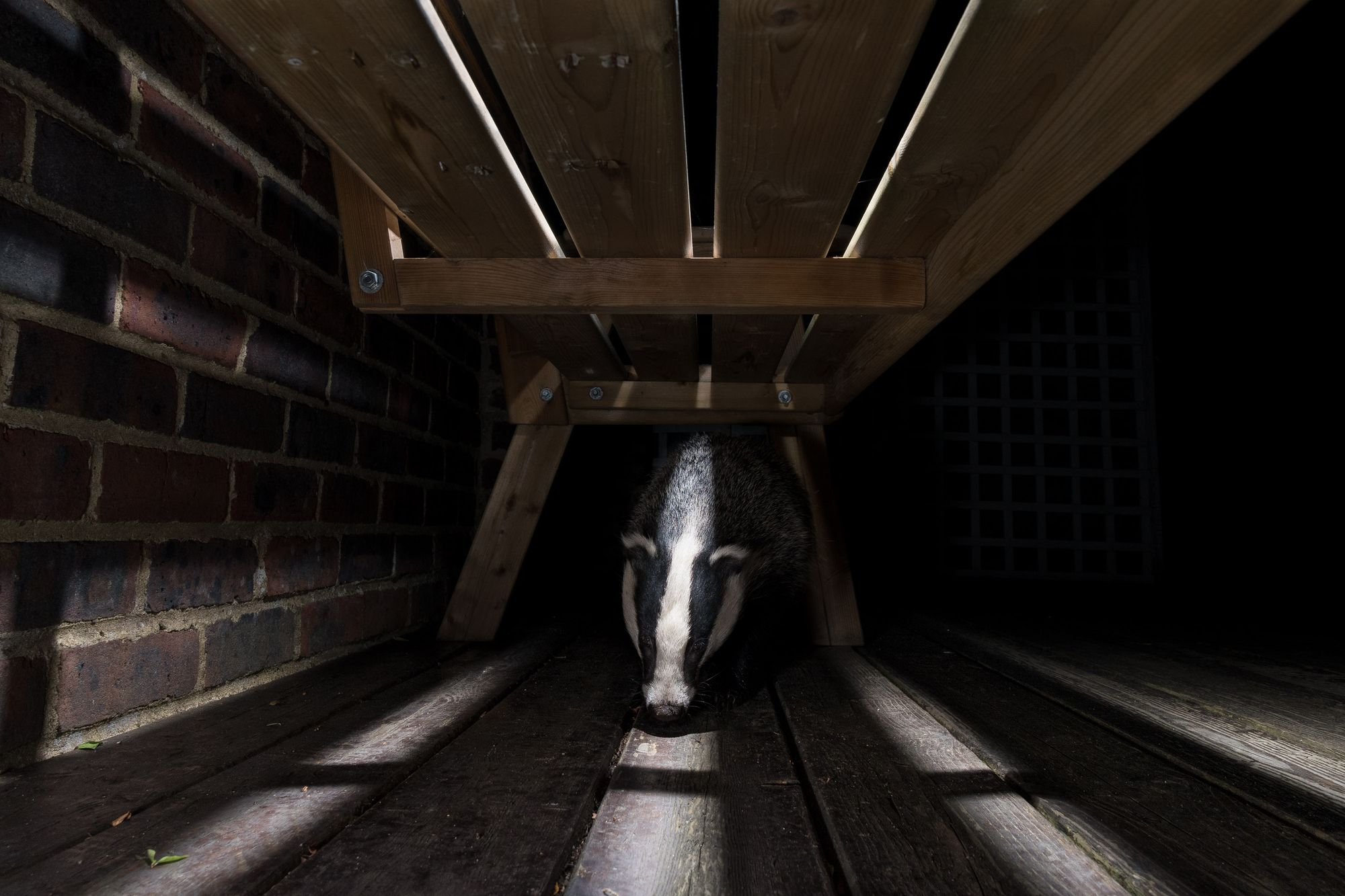 photographing badgers, urban wildlife photography