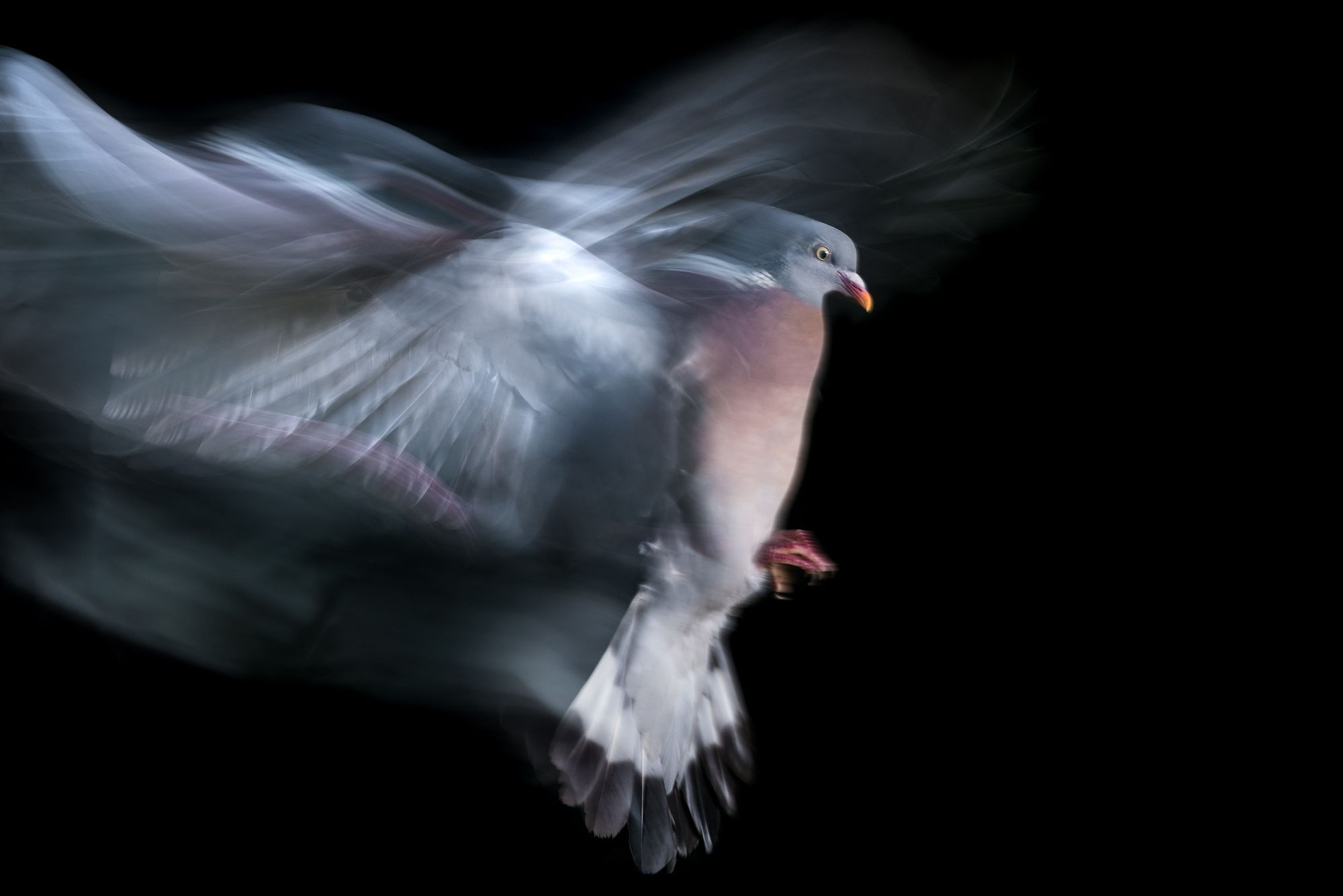 photographing pigeons, pigeon portrait, urban wildlife photography, blur, motion