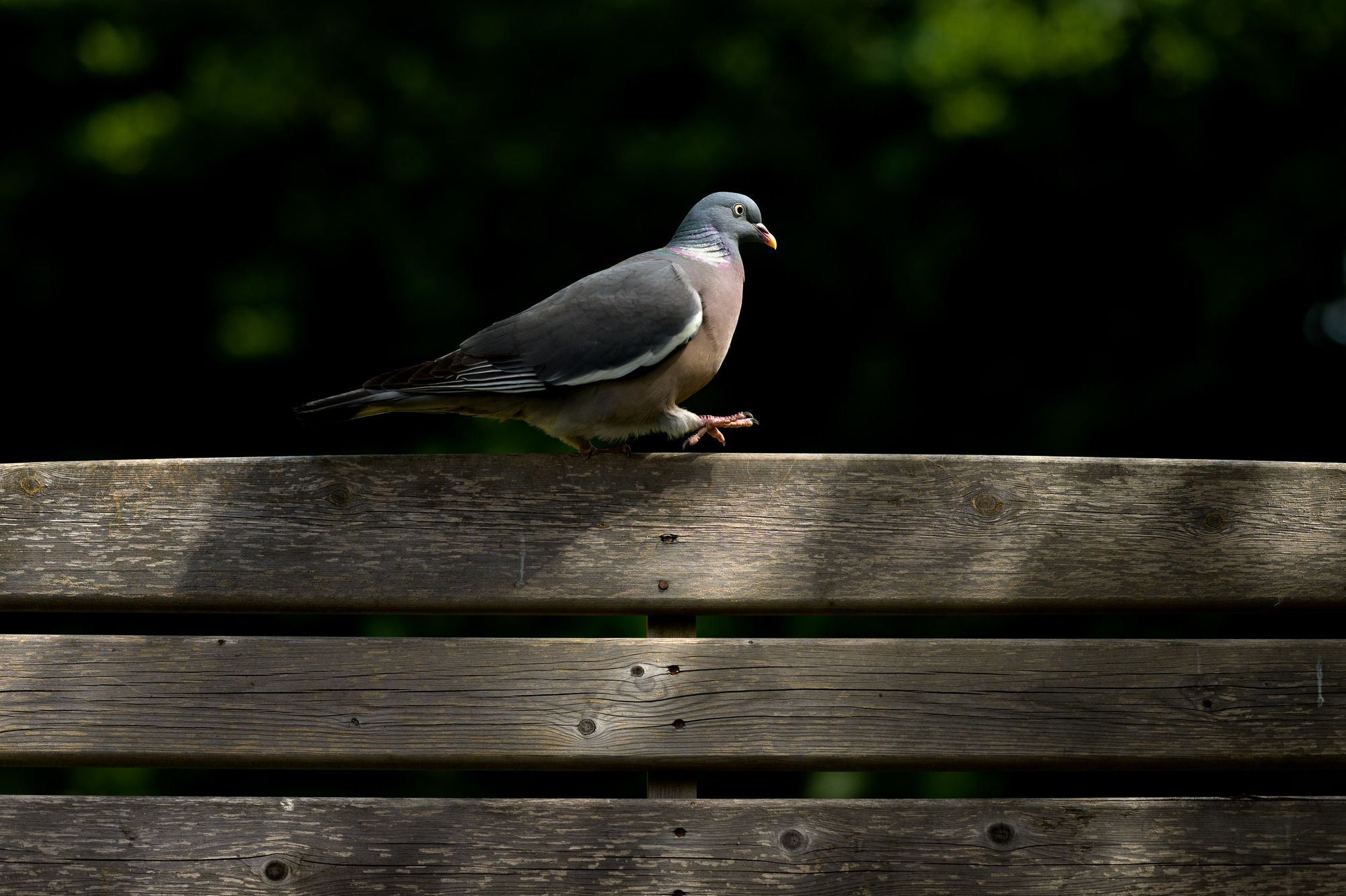 pigeon photography, dappled ligjht, Urban wildlife photography with Richard Peters