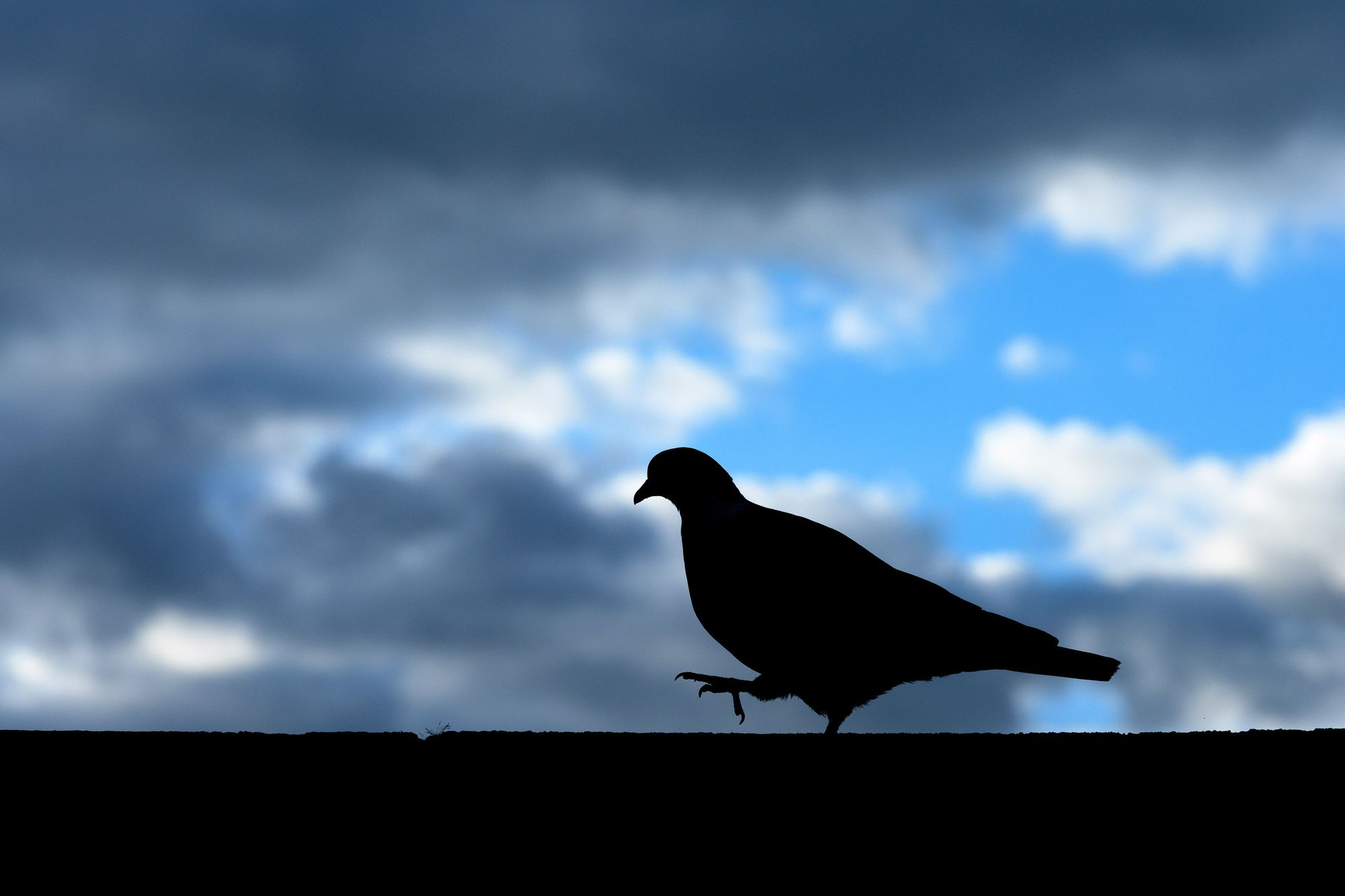 photographing pigeons, pigeon portrait, urban wildlife photography, silhouette