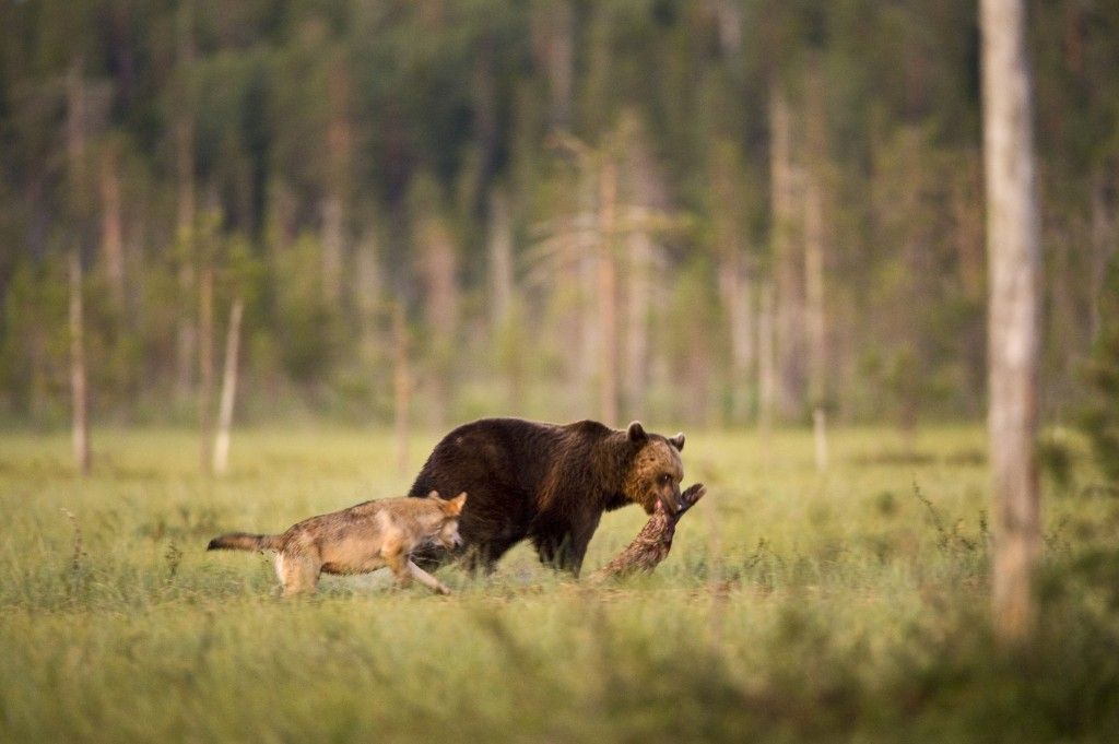 Sharing, meal, wild, life, rare pairing, wolf, bear, care, unlikely union, Finland