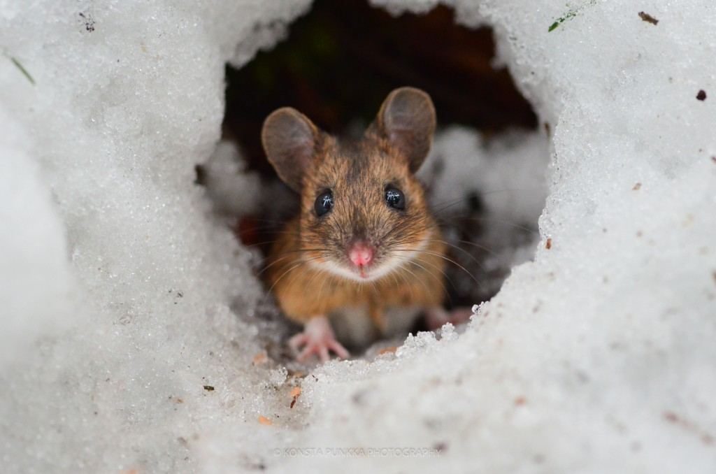inquisitive field mouse, wildlife, konsta punkka, finland, nature photography, ice, peering through, protect nature, protect animals
