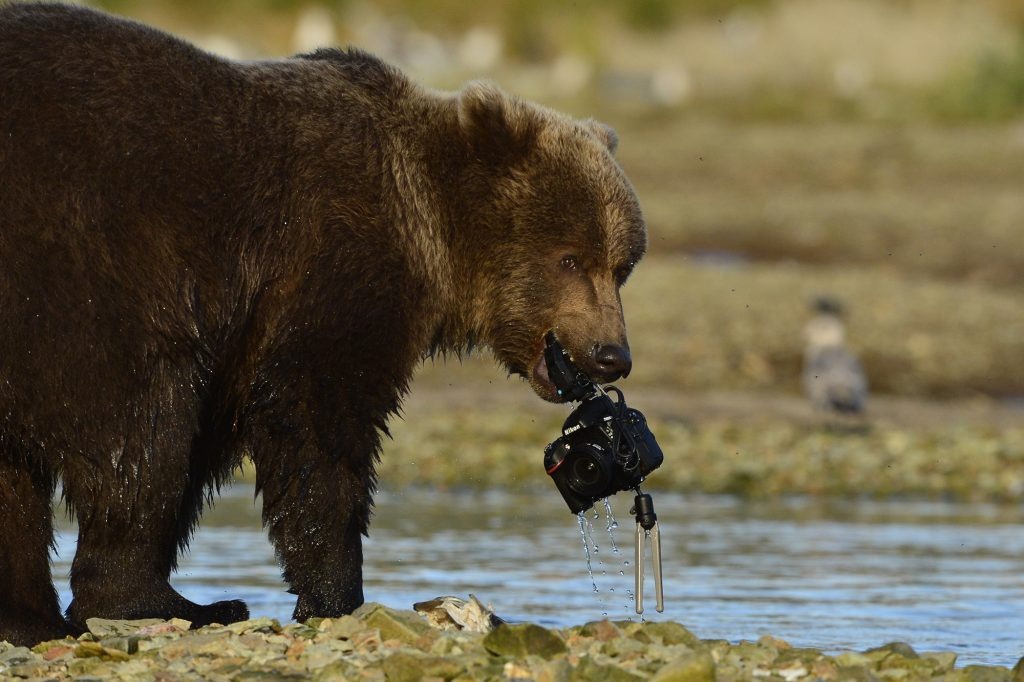 Bear with Nikon captured by David Bittner