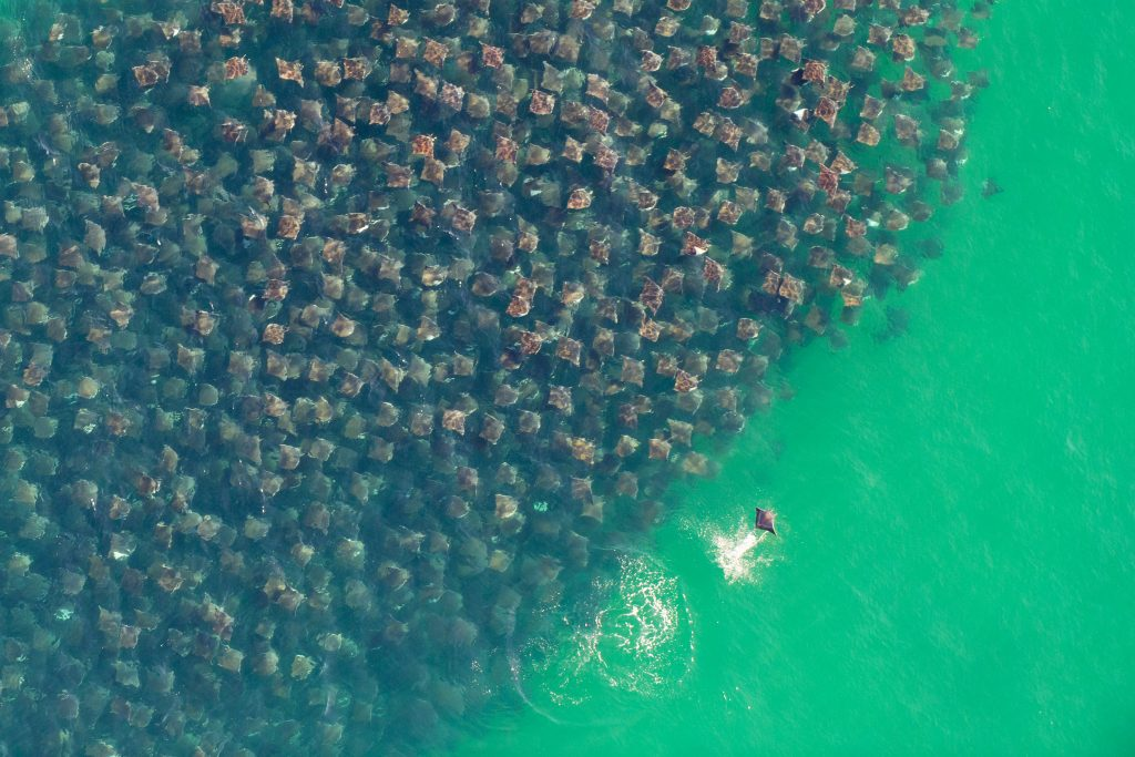 Munk's devil rays captured by Florian Schulz