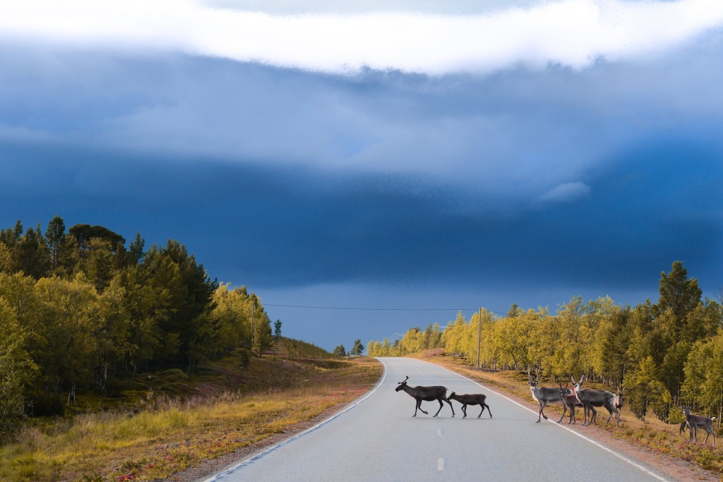 road, wildlife, crossing, Finland, family, nature photography, blue sky, woods, Finland, protect the animals