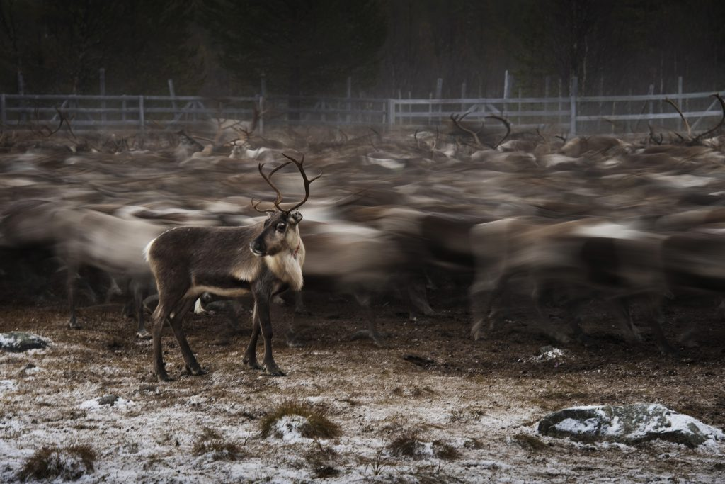 Reindeers, Sami people, untold stories, culture, photography, Sweden, Sami