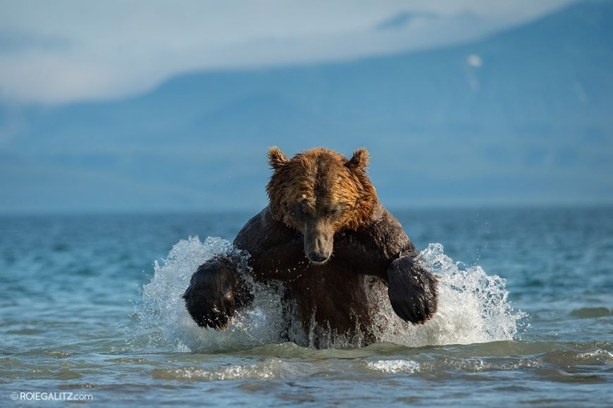 Aiming at a fraction of a second: photographing bears in Kamchatka Peninsula with Renowned Wildlife Photographer Roie Galitz